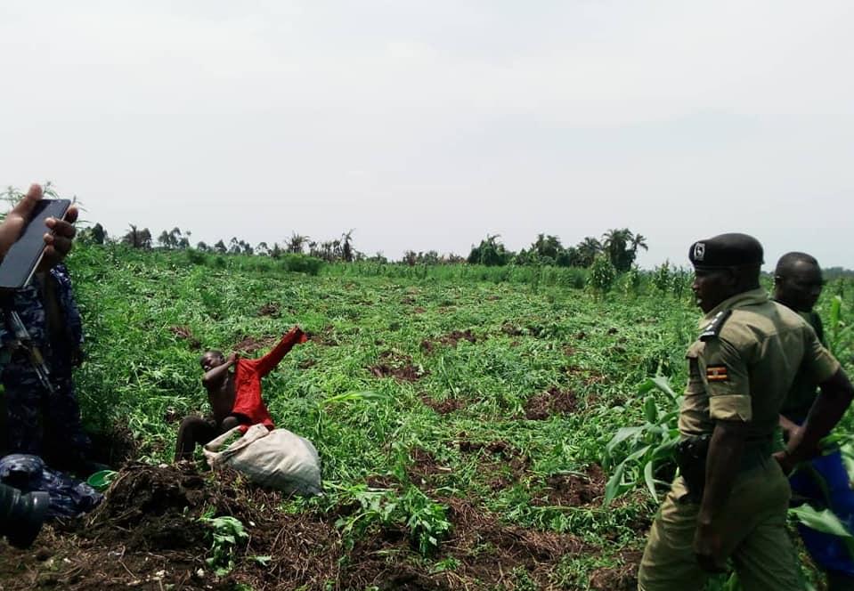 destroyed marijuana gardens in areas of Masulita and Magoogo subcounty in Wakiso district